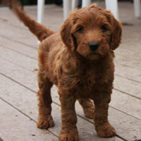 red australian labradoodle puppies for sale in canada